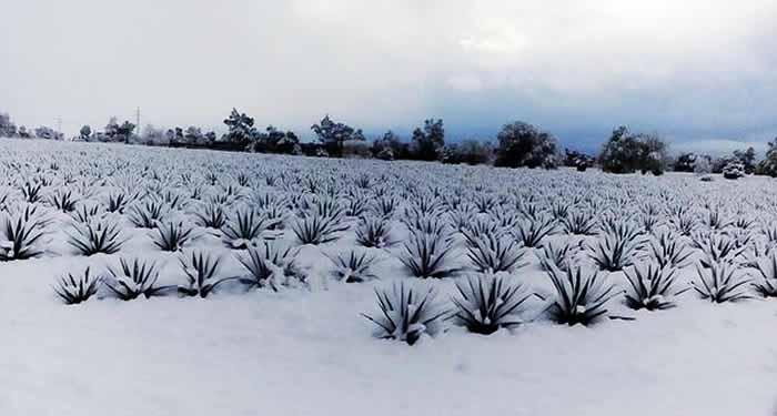 agave-jalisco-nevado-cubierto-nieve