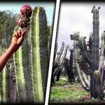 Techaluta: La Cuna de la Pitaya
